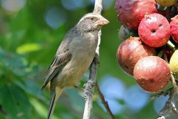 Streaky-headed Seedeater eating Cape fig, Plettenberg Bay